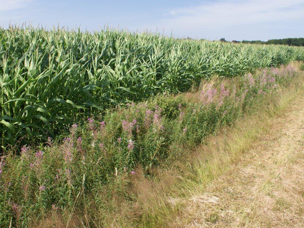Fietsen langs de maisvelden...